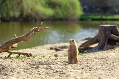 Prairie dog standing on sand beach observing stock photo