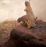 Prairie dog standing upright, blurred background. Prairie dog standing upright Royalty Free Stock Photos