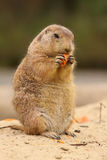 Prairie dog standing upright and eating a carrot. Animals: Prairie dog standing upright and eating a carrot Stock Photo