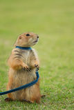 Prairie dog standing upright Royalty Free Stock Image
