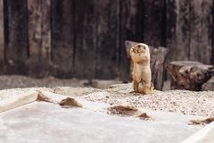 Prairie dog standing upright. on the ground Summer stock photography