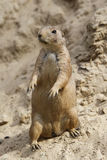 A prairie dog, standing upright. In the sand with sunlight, watching Royalty Free Stock Photo