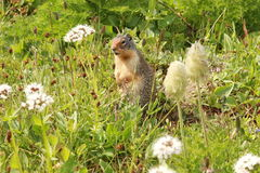 Prairie Dog Standing in Wildflower Meadow Stock Photography