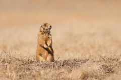 Prairie Dog. A prairie dog stands by his hole in a field Royalty Free Stock Photos