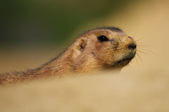 A prairie dog sticking his head out of the sand Stock Image