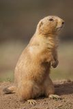 Prairie Dog Stood Royalty Free Stock Photo