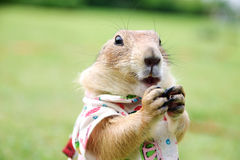Prairie dog 2558 Stock Images