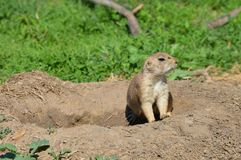 A prairie dog during the summer Royalty Free Stock Images