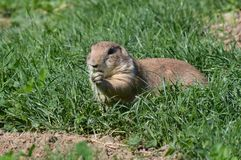 A prairie dog during the summer Stock Image