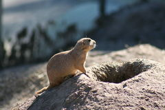 Prairie dog in sun. Rodent is on lookout and taking him self a sunbathe mean while Royalty Free Stock Image