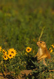 Prairie Dog and Sunflowers Royalty Free Stock Images