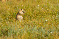 Prairie Dog Town Theodore Roosevelt National Park. South Unit royalty free stock photos
