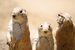 Prairie Dog Trio Stock Images