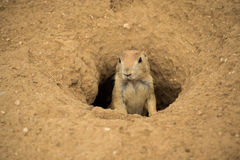 Prairie Dog in tunnel entrance. Prairie Dog tunnel  standing in entrance hole Royalty Free Stock Photos