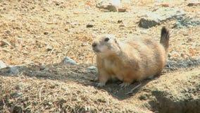 Prairie dog two scenes stock video
