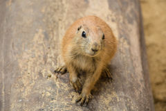 Prairie dog. Stock Image