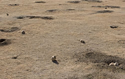 Prairie Dog Village Royalty Free Stock Photography