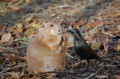 Prairie dog vs. bird for food stock images