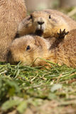 Prairie dog wanting some privacy Royalty Free Stock Images