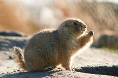 Prairie dog watchful Stock Photos