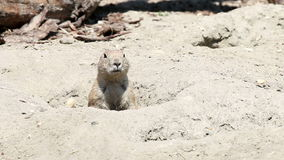 Prairie dog watching from hole stock footage