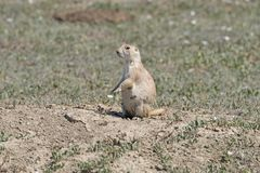 Prairie dog Watching from its Burrow Royalty Free Stock Photography