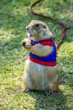 Prairie dog wearing a blue shirt on field in summer. ** Note: Shallow depth of field stock photography