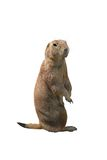 Prairie dog Stock Photography