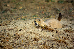 Prairie Dog with Wide Eyes Shows Teeth. A prairie dog outside his burrow with his mouth open baring teeth Royalty Free Stock Photos