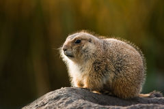 Prairie dog in winterfur Royalty Free Stock Image