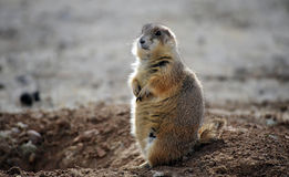 Prairie Dog, Wyoming. A prairie dog  stands alert in a Wyoming Autumn Royalty Free Stock Images