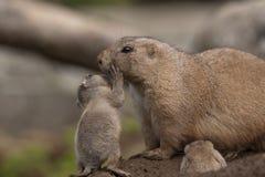 Prairie Dog. Young prairie dog giving parent a hug Royalty Free Stock Photos