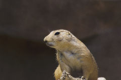 A prairie dog in a zoo Stock Image