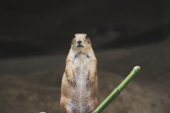 A prairie dog in a zoo Stock Photo