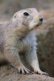 Prairie dog Royalty Free Stock Photo