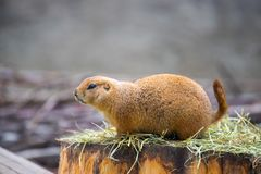 Prairie Dog in the Zoo, summer time. Close up picture of a prairie dog in the Zoo wildlife animal sweet cute wilderness nature closeup suricate mammal ground stock image