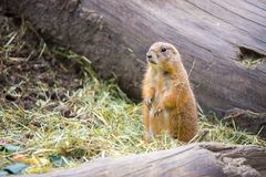 Prairie Dog in the Zoo, summer time. Close up picture of a prairie dog in the Zoo wildlife animal sweet cute wilderness nature closeup suricate mammal ground stock photography