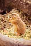 Prairie Dog in the Zoo, summer time. Close up picture of a prairie dog in the Zoo wildlife animal sweet cute wilderness nature closeup suricate mammal ground royalty free stock images