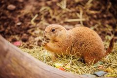 Prairie Dog in the Zoo, summer time. Close up picture of a prairie dog in the Zoo wildlife animal sweet cute wilderness nature closeup suricate mammal ground stock photo