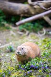 Prairie Dog in the Zoo, summer time. Close up picture of a prairie dog in the Zoo wildlife animal sweet cute wilderness nature closeup suricate mammal ground stock images