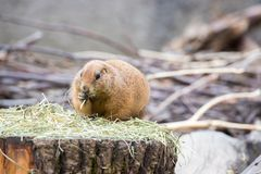 Prairie Dog in the Zoo, summer time. Close up picture of a prairie dog in the Zoo wildlife animal sweet cute wilderness nature closeup suricate mammal ground stock photos
