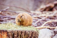 Prairie Dog in the Zoo, summer time. Close up picture of a prairie dog in the Zoo wildlife animal sweet cute wilderness nature closeup suricate mammal ground royalty free stock image