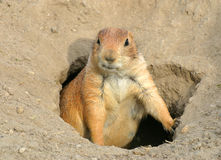 Prairie dog1 Stock Image
