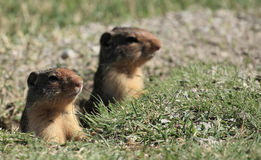 Prairie dogs. Two Prairie dogs looking out of burrows royalty free stock images