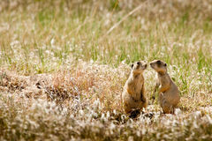 Prairie Dogs. Two Prairie Dogs in Grasslands - Ruple Ranch, Dinosour National Monument royalty free stock photos