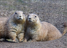 Prairie Dogs royalty free stock photos