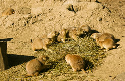 Prairie dogs. Several black-tailed prairie dogs gather together for food royalty free stock images