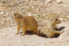 Prairie dogs. At Living Desert Zoo Gardens State Park stock photos