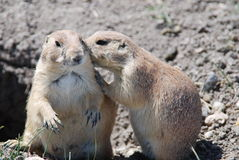 Prairie dogs. At the prairie dog town in South Dakota Stock Photos