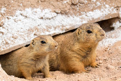 Prairie Dogs Royalty Free Stock Image